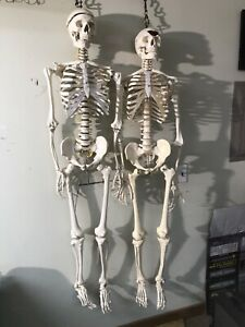 2 Real Skeletons Hospital Anatomy Medical Professional Halloween Scary Resin
