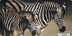 Zebra With Foal Photo License Plate