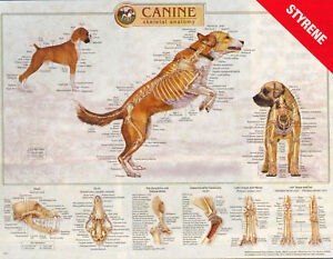 Canine Anatomy Wall Charts Set Of 3 Skeletal musculature Internal Lfa 92510