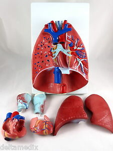 Professional Educational Larynx Heart Lungs Anatomy Medical Model It 056