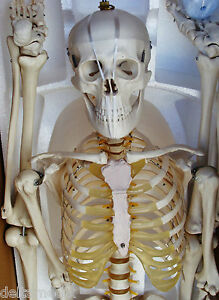 Medical Anatomical Human Skeleton Model Professional Size 67 170 Cms It 001