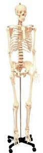 Walter Products Life Size Human Skeleton Model On A Stand 49811