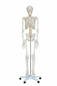 New Life Size Human Anatomical Anatomy Skeleton Medical Model stand xc 101