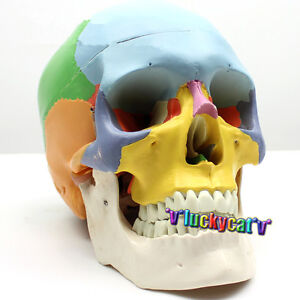 1 1 Size Human Skull Anatomical Anatomy Skeleton Medical Model Colored