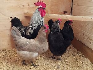 12 Rare Breed Hatching Egg Assortment npip From Benoit Farms