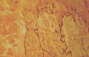Pimento Pepperwood Burl Wood Veneer 16 X 34 Raw No Backing 1 42 Thickness Aa