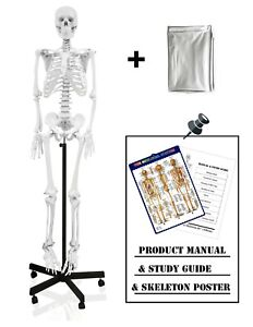 Parco Scientific Pb00010 dc Full Size Human Skeleton Life Size With Dust Cover