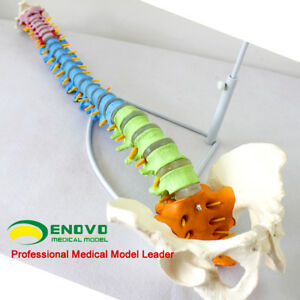1 1 Life Size Realistic Education Spine Model With Pelvis Anatomical Skeleton