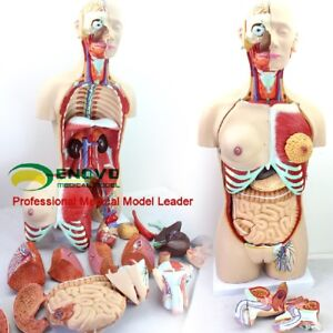85cm Deluxe Dual sex Torso Model With Opened Back 29 Part Human Anatomy Model
