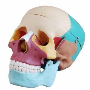 Life Size Human Skull Anatomical Anatomy Skeleton Medical Model