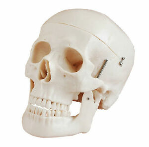 Human Skull Anatomical Anatomy Skeleton Medical Model Natural Bones Life Size