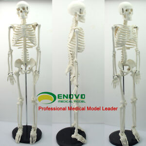 85cm Human Anatomical Anatomy Skeleton School Medical Model Stand Proportional