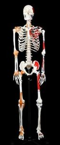 Walter Products B10215 Life Size Human Skeleton Model With Muscles And Ligaments