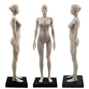 Female Human Body Musculoskeletal Anatomical Model 30cm For Study And Teaching