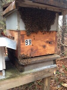 Honey Bees 200 For Complete Over Wintered Hives