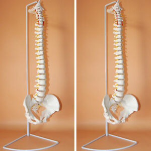 Life Size Flexible Chiropractic Human Spine Anatomical Anatomy Model With