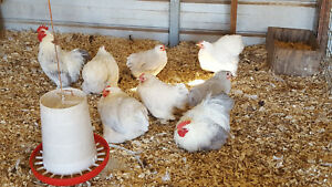 6 Npip porcelain Project Cochin Bantam Fertile Hatching Eggs Incubator