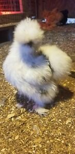 6 Fertile Paint Silkie Chicken Hatching Eggs Npip And Ai Clean