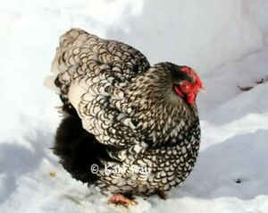 Silver Laced Orpington Lf 8 1 Hatching Eggs Three Willow Farms
