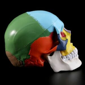 Colorful Life Size Human Skull Model Head Skeleton Anatomy For Medical Teaching