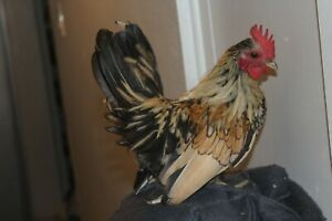 Rare New Colors 12 Serama Chicken Eggs Tiny Crows Friendly Tiny Rooster
