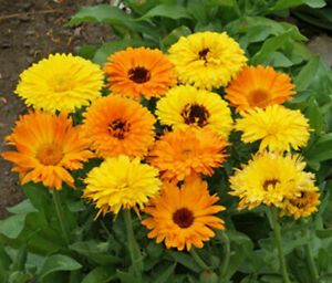 Calendula Seeds Pacific Beauty Mix 150 Ct Flower ANNUAL USA Seller FREE SHIPPING $2.05