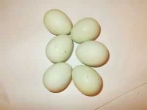 Very Rare Blue Serama Chicken Eggs Tiny Crows From Friendly Tiny Rooster