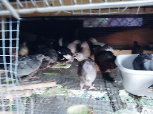 Quail Hatching Eggs For Sale 18