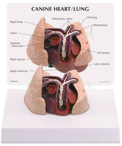 New Anatomical Vet Canine Heart Lung Model