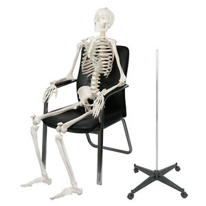 Life Size Human Anatomical Study Anatomy Skeleton Medical Model Stand Kit 180cm