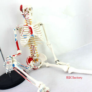 85cm Human Anatomical Anatomy Skeleton Medical Model Muscle stand Fexible Sale