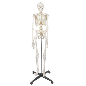 70 8 Human Body Life Size Skeleton Anatomical Skeleton Medical Anatomy Model