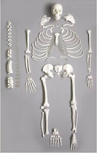 Human Anatomical Full Disarticulated Skeleton Life size 170cm New