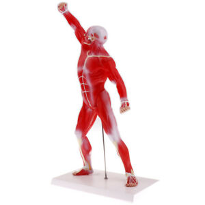 50cm Human Torso Skeleton Superficial Muscle Model School Teaching Display