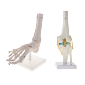 1 1 Anatomical Human Foot Ankle And Knee Joint Skeleton Model Lab Equipment