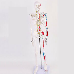 Human 85cm Spine Nerve Anatomical Anatomy Skeleton Medical Model Muscle W stand