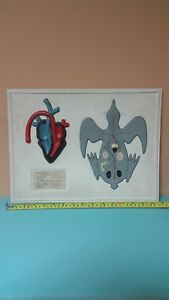 Vntg Heart Anatomical Model Tabletop Education School Lab Desktop Zoology Bird