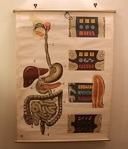 Vintage Medical Poster School Wall Chart 50s 60s 70s Pull Down Digestive System