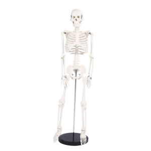 85cm Skeleton Model Anatomical Medical Teaching Aid Tool With Base Stand