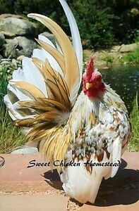 Serama Show Quality Size A Hatching Eggs 12 Smallest Chicken Worldwide Npip