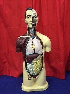 Complete Vintage 1964 Nynstrom Anatomical Model