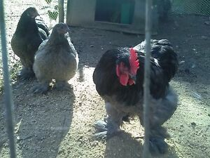 Blue Lot Blue Lace Wyandotte blue Chicken Blue Cochin Hatching Eggs 18 Eggs