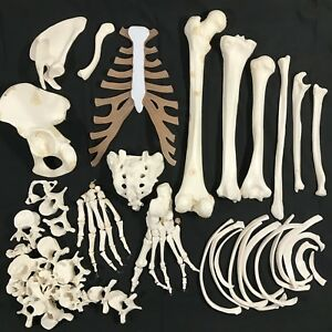 Vintage Anatomical Human Skeleton Bones Teacher Display Model Science Medical