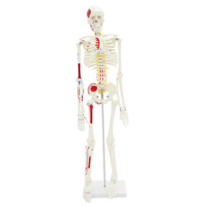85cm Height Human Skeleton Model W half Side Muscles Anatomy Study