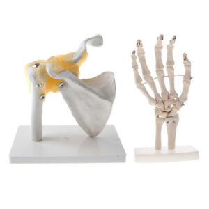 1 1 Human Functional Shoulder Joint W ligament Hand Skeleton Anatomy Model