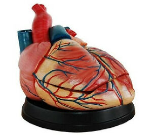 Human New Style Jumbo Heart Simulation Model Medical Anatomy Type dr xf 107