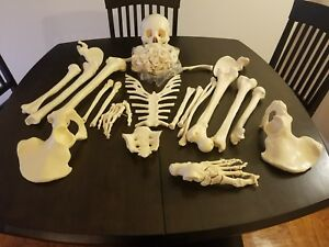 Disarticulated Human Skeleton Full Medical Quality Life Sized 62 Model