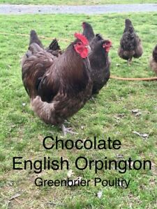 Hens Choice A Variety Of Up To 5 Orpington Colors 12 Hatching Eggs Npip