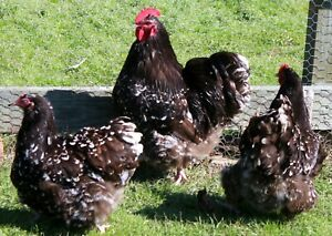 English Orpington Chocolate Mottle project Hatching Eggs 20