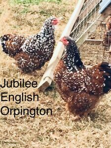 Jubilee English Orpington 12 Fresh Hatching Eggs Npip Arkansas